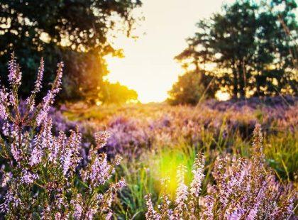 Sun rise on purple flowers in field